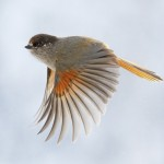 Beautiful-Bird-Flight-HD-Wallppaper